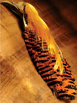 golden pheasant head
