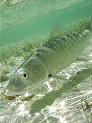 Andros Island Bonefish Club Fly Fishing Trips